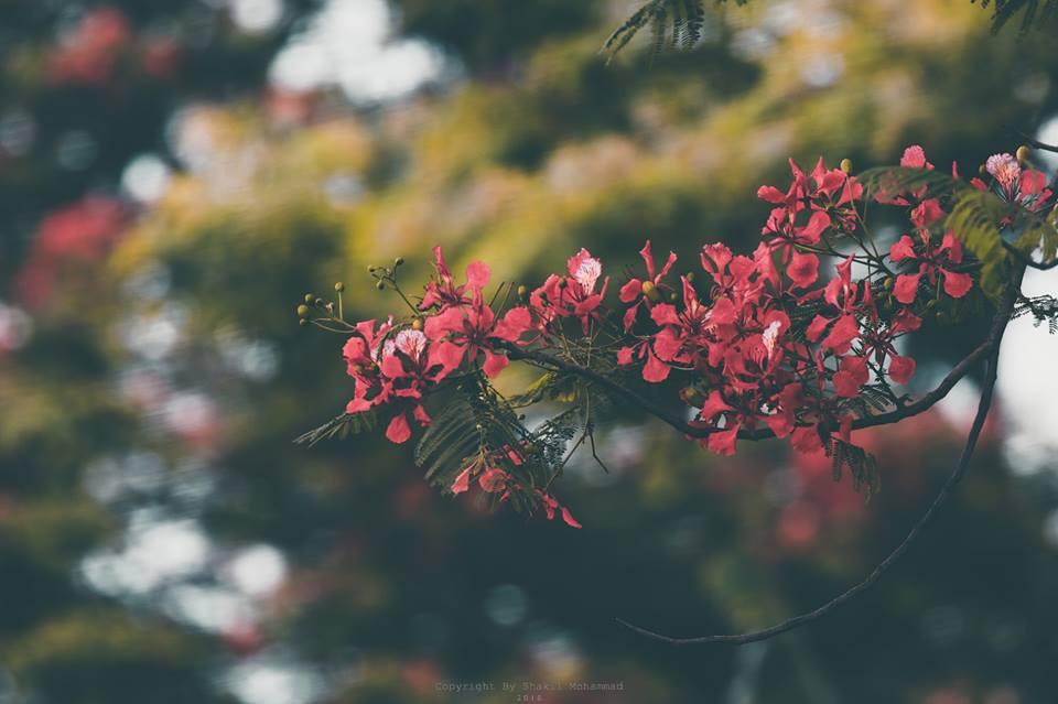 প্রিয়া,কৃষ্ণচূড়ার ওই লম্বাঢলটায় খুব মানাতো তোমার খোঁপা! (কৃষ্ণচূড়া ফুল, ছবি: শাকিল মোহাম্মদ)