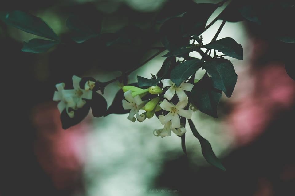 কামিনী কি একটি ঝড়ে যাওয়া ফুল  না কামিনীর জন্মানোই ভুল? (কামিনী ফুল, ছবি: শাকিল মোহাম্মদ)