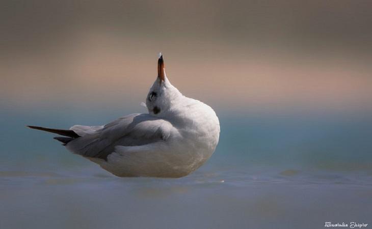 ব্রাউন হেডেড গাল (Brown Headed Gull) (ছবি: মোস্তাফিজুর রহমান শিপ্ত)