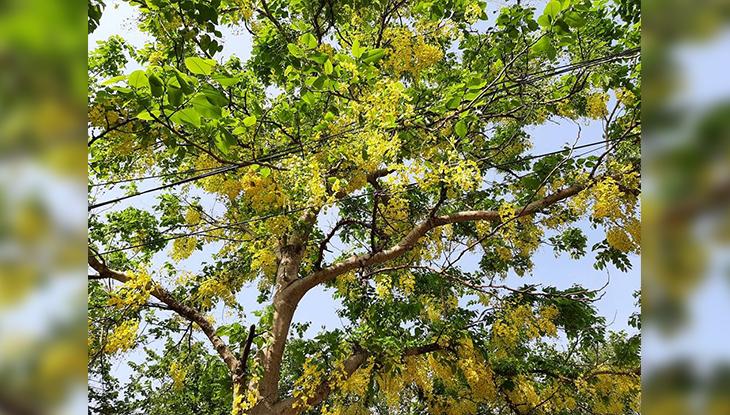নয়নাভিরাম জাহাঙ্গীরনগর প্রাঙ্গণে ফুটে থাকা সোনালু ফুল (ছবি: নাবিলা বুশরা)