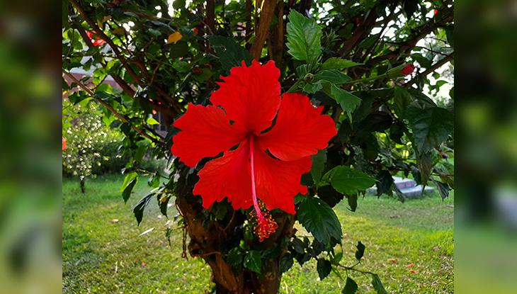 নয়নাভিরাম জাহাঙ্গীরনগর প্রাঙ্গণে ফুটে থাকা জবা (ছবি: নাবিলা বুশরা)