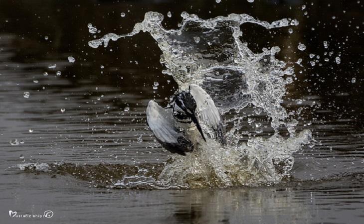 মাছরাঙা (Kingfisher Fishing) (ছবি: মোস্তাফিজুর রহমান শিপ্ত)