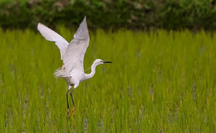 বক (Little Egret)  (ছবি: মোস্তাফিজুর রহমান শিপ্ত)