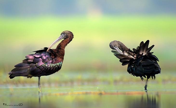 গ্লসি আইবিস (Glossy Ibis) (ছবি: মোস্তাফিজুর রহমান শিপ্ত)