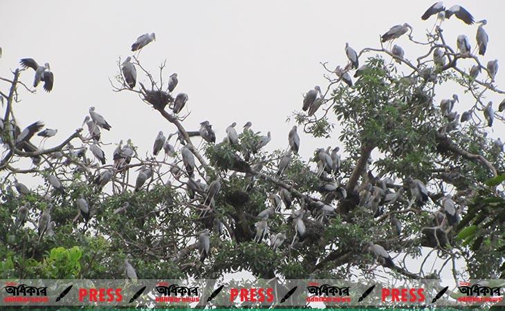 পাখির কিচির-মিচির শব্দে মুখোরিত থাকে ঝিনাইদহের শৈলকুপা উপজেলার আশুরহাট গ্রাম