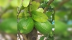 ইউরোপে রফতানি হচ্ছে নরসিংদীর সুগন্ধি লেবু