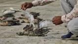 ঝাঁকে ঝাঁকে মারা যাচ্ছে পরিযায়ী পাখি