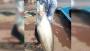 পদ্মায় ধরা পড়ল ১৫ কেজি ওজনের বোয়াল