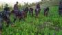বান্দরবানে৫ একর নিষিদ্ধ আফিম বাগান ধ্বংস