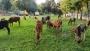 পুলিশি অভিযানে ২৮টি ভারতীয় গরু জব্দ