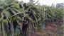 নওগাঁয় বৃদ্ধি পাচ্ছে ড্রাগন ফলের চাষ