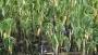 ধামরাইয়ে ৫৫৯৫ জন কৃষকের স্বপ্ন এখন বন্যার পানির নিচে